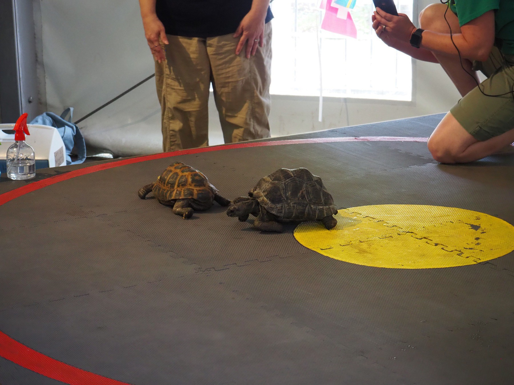 Two turtles racing inside a ring.
